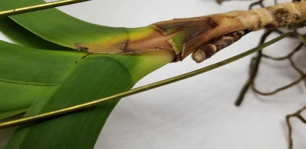 Vanda dropping leaves, can this be saved?-photo_2018-11-28_21-05-47-2-jpg
