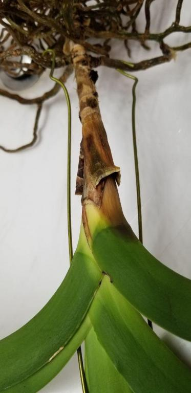 Vanda dropping leaves, can this be saved?-photo_2018-11-28_21-05-47-4-jpg