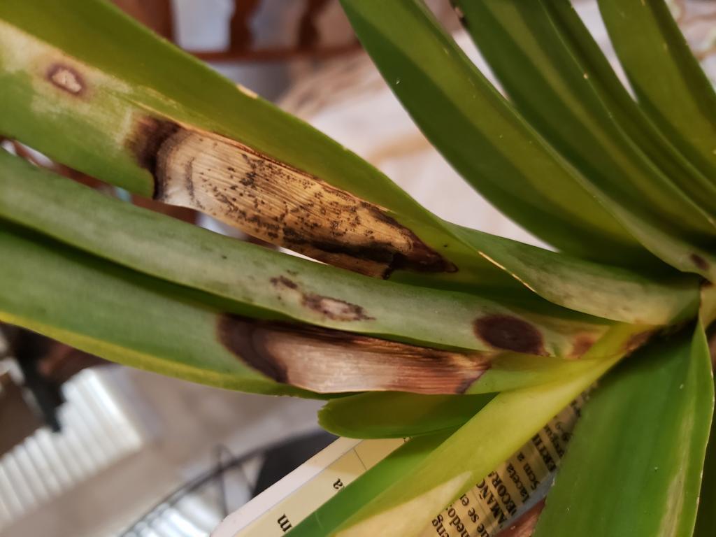 Vanda orchid bacterial spots need suggestions-15435051036306356271711032296778-jpg