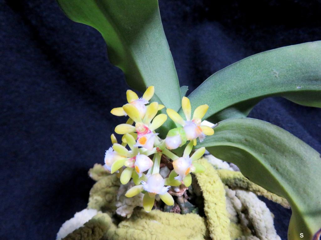 Gastrochilus obliquus-gasobl11185-jpg