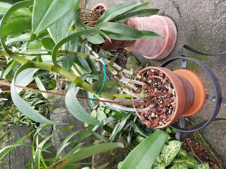 Can anyone help ID this Dendrobium?-20181110_153526-jpg