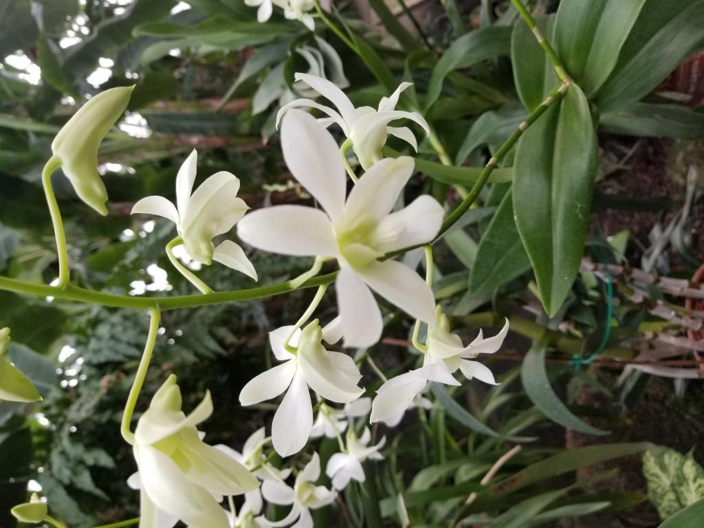 Can anyone help ID this Dendrobium?-20181110_153439-jpg