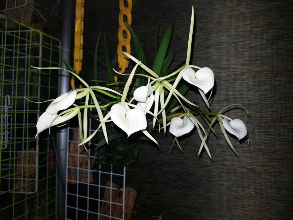 Brassavola nodosa-nodosa1-jpg