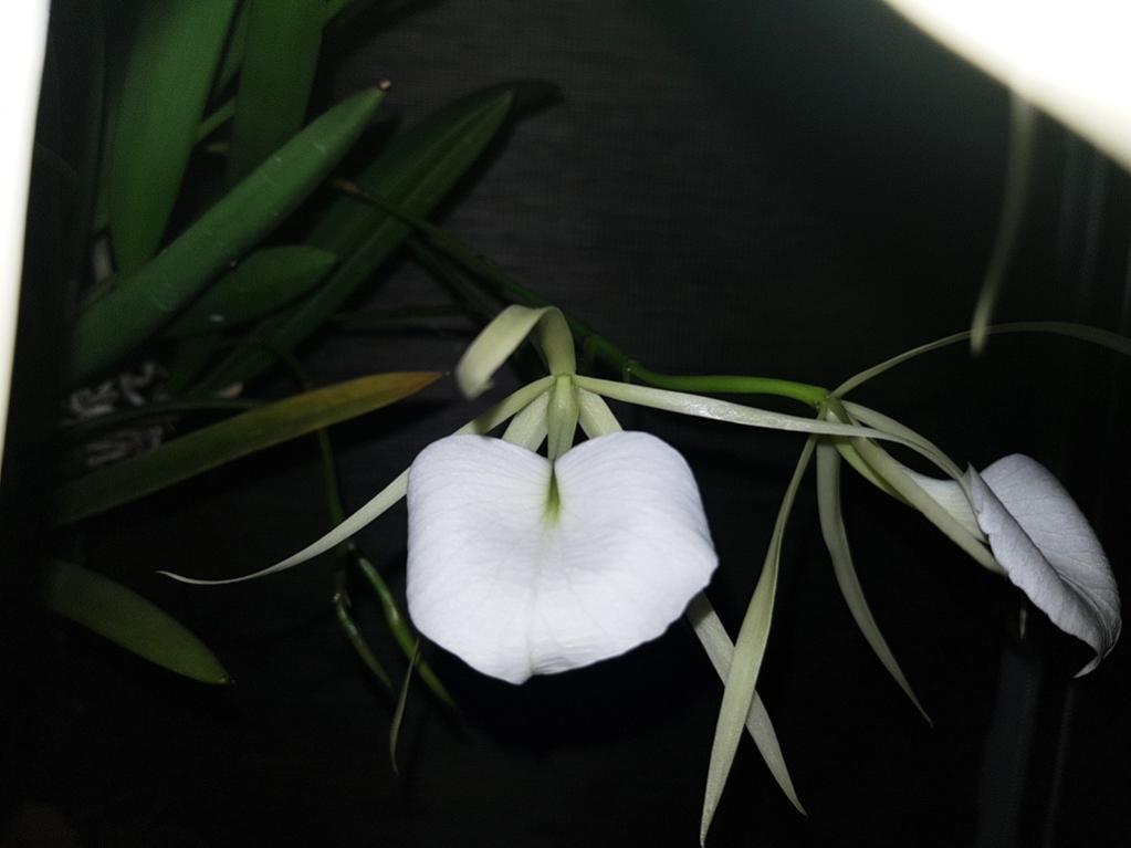 Brassavola nodosa-nodosa2-jpg
