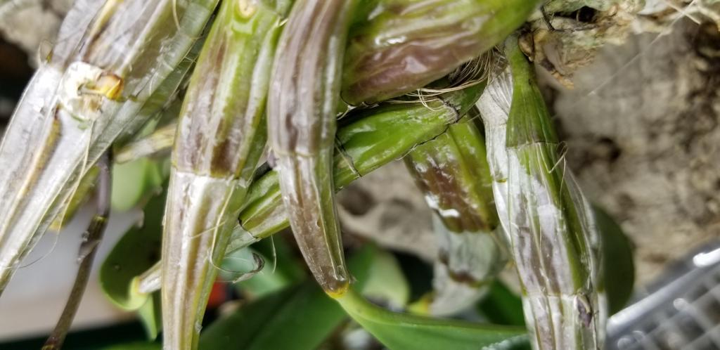 Dendrobium aggregatum-15449987143172102818993925883208-jpg