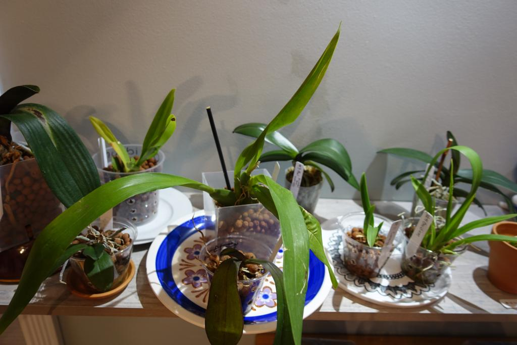 Beginner Growing 5 Phals, 2 Vandas, 2 Catts, 2  Dendrobs, 3 Oncidiums - shop light-dsc03504-jpg