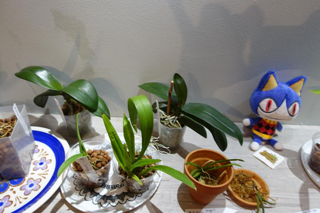 Beginner Growing 5 Phals, 2 Vandas, 2 Catts, 2  Dendrobs, 3 Oncidiums - shop light-dsc03505-jpg