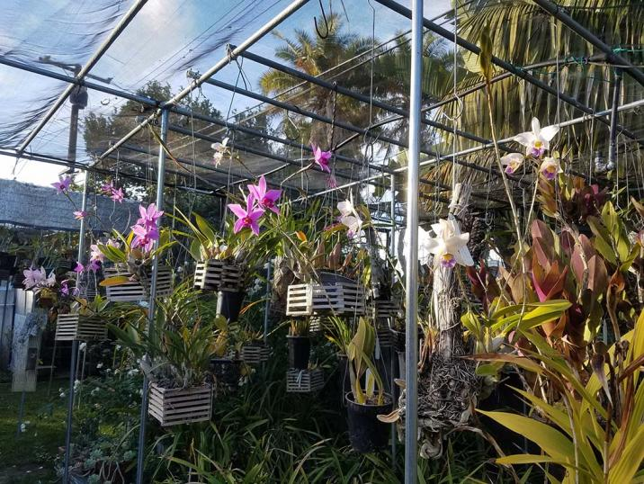 Anyone growing Laelia harpophylla? Info needed-anceps-city-2-jpg