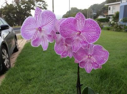 What is this phal hybrids background-f947b515-3d0e-4519-801a-fe6a0d0d6006-jpg