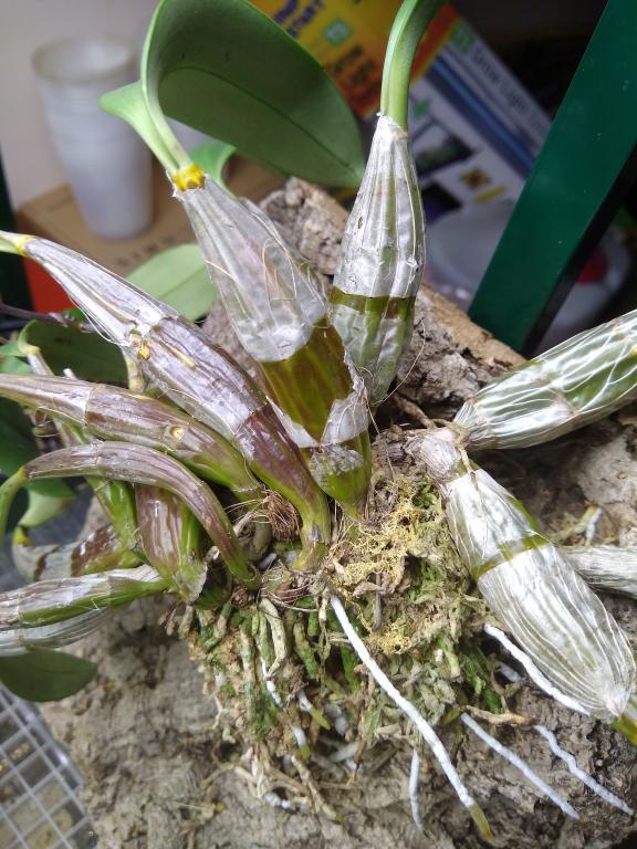 Dendrobium aggregatum-15469744665615808530555053836634-jpg