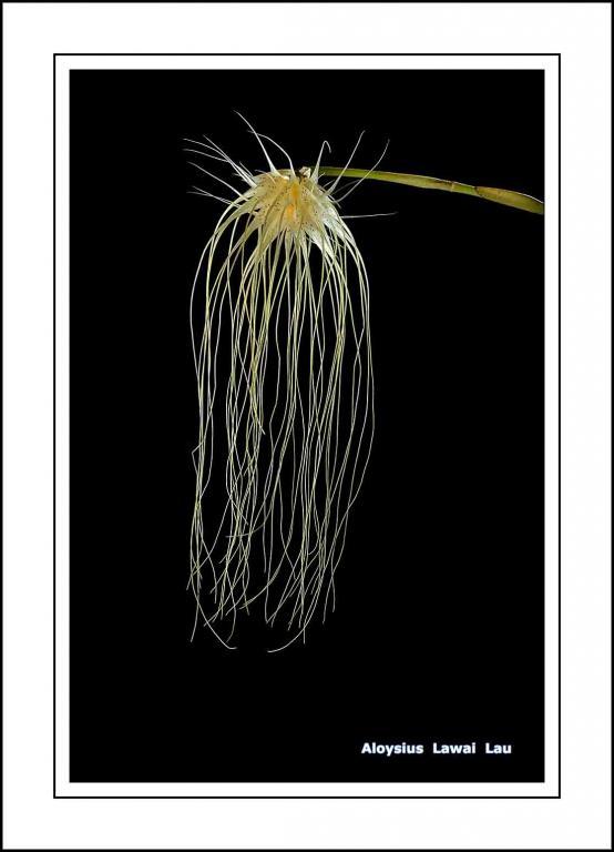 Wild Orchid of Sarawak, Malaysia.-dsc_3655-jpg