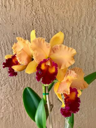 Cattleya with color distortion at the edges of the petals-62cbc105-3c95-46f8-b6cf-396fdda5bc8e-jpg