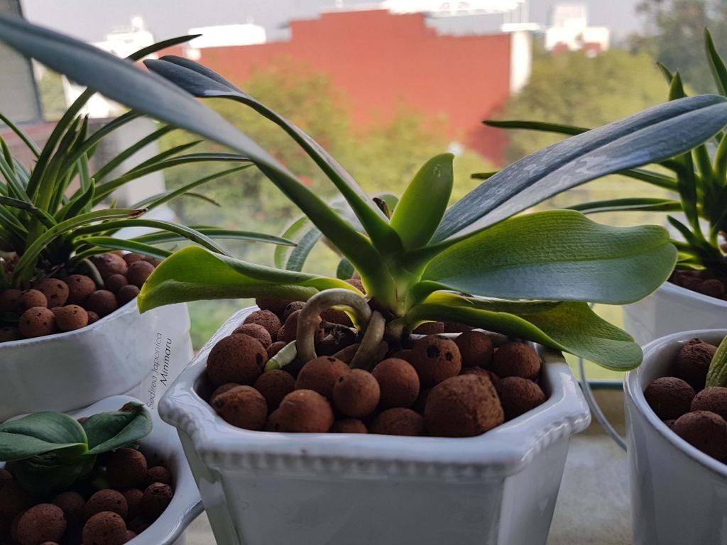 Weird looking orchid leaves-1-jpg
