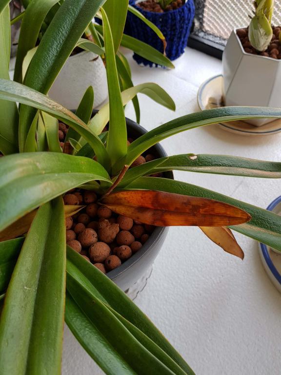 Weird looking orchid leaves-4-jpg