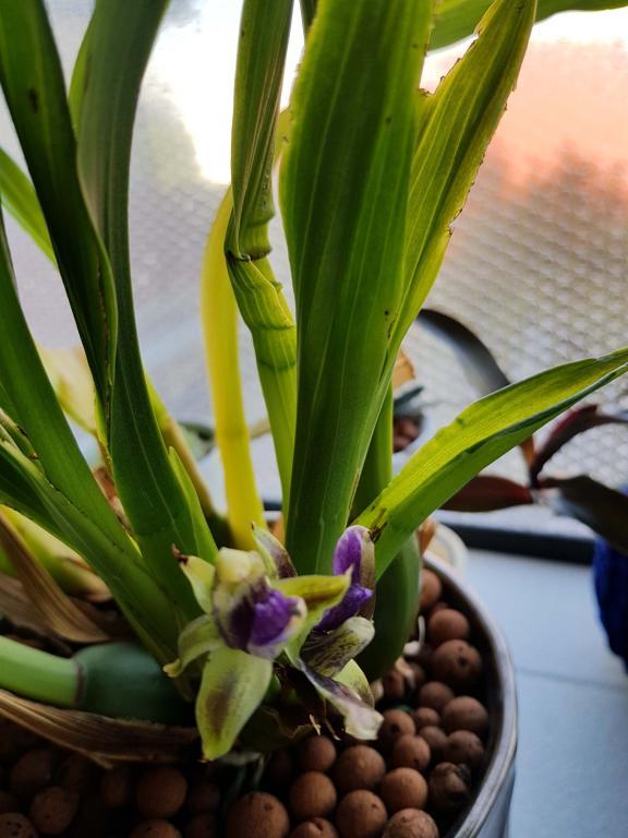 Weird looking orchid leaves-6-jpg