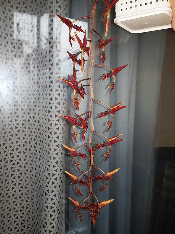 Gongora claviodora-gga-claviodora-1-jpg