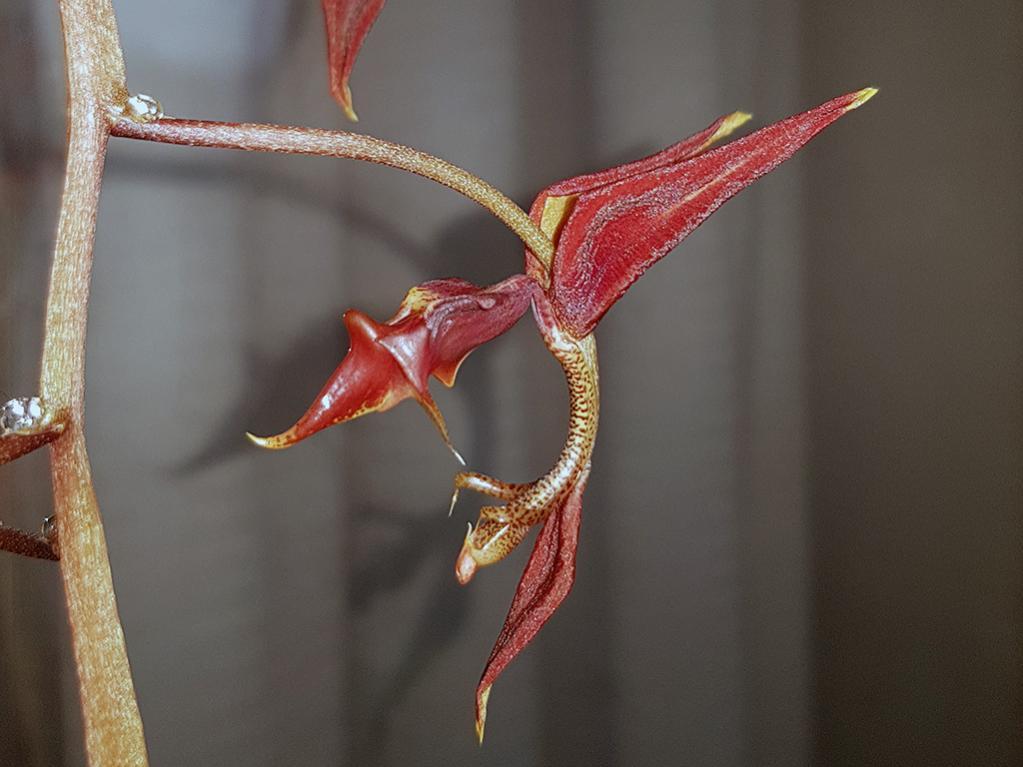 Gongora claviodora-gga-claviodora-2-jpg