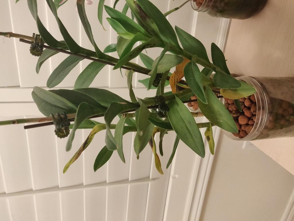Epidendrum - Yellow Leaves with Black Spots-img_20190125_223238-jpg