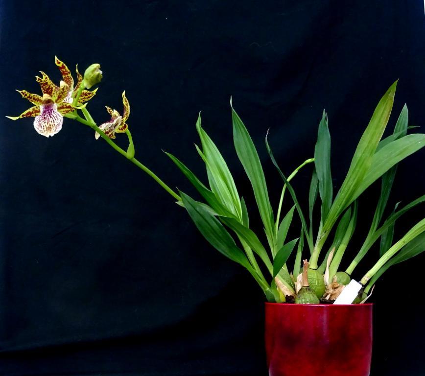 Zygopetalum x Promenea-orchids-zygopetalum-promenea-jpg