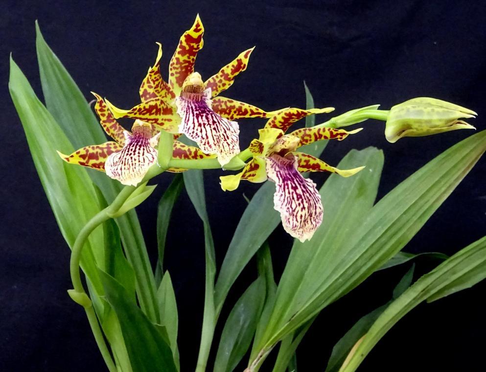 Zygopetalum x Promenea-orchids-zygopetalum-promenea-001-jpg