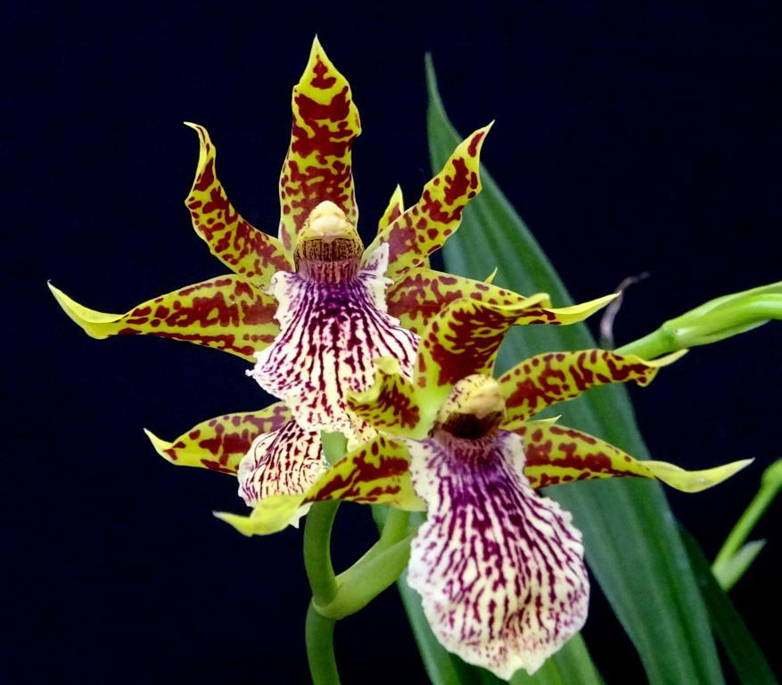 Zygopetalum x Promenea-orchids-zygopetalum-promenea-002-jpg
