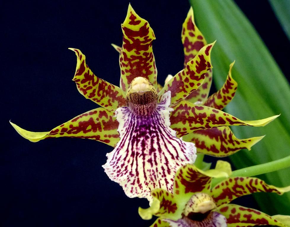 Zygopetalum x Promenea-orchids-zygopetalum-promenea-003-jpg