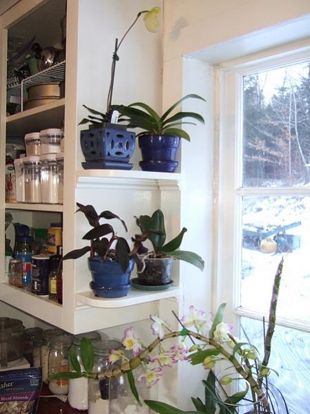 New shelves in my orchid window-kitchen2019jan02-jpg