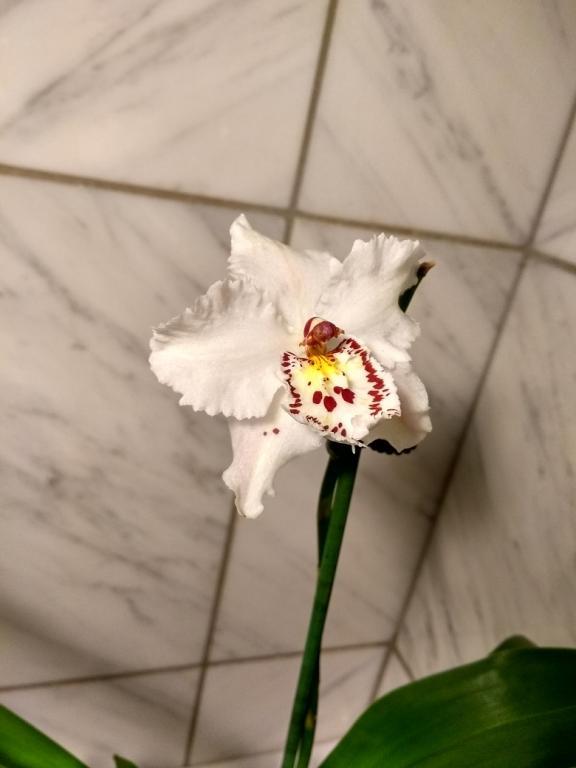 Noid Oncidium - help and insights appreciated!-whiteodonto-jpg