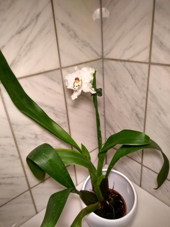 Noid Oncidium - help and insights appreciated!-onc-2-jpg