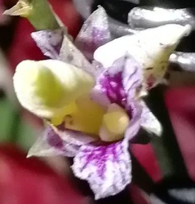 Mini Orchid identification-img_20190207_214556-jpg