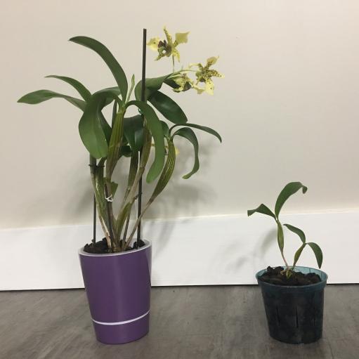 Dendrobium atroviolaceum with keiki-6d61b142-600e-4534-9ce8-70deab271059-jpg