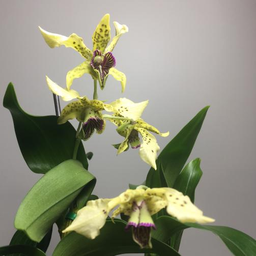 Dendrobium atroviolaceum with keiki-69f30f9e-8e15-41c1-8ec6-810ae61e3423-jpg