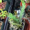 Dendrobium reflexitepalum - my experience so far-img_5826-jpg