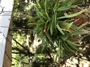 Growing Neofinetia falcata from seed-8064cfbe-5860-463a-86ba-30296660e8c8-jpg