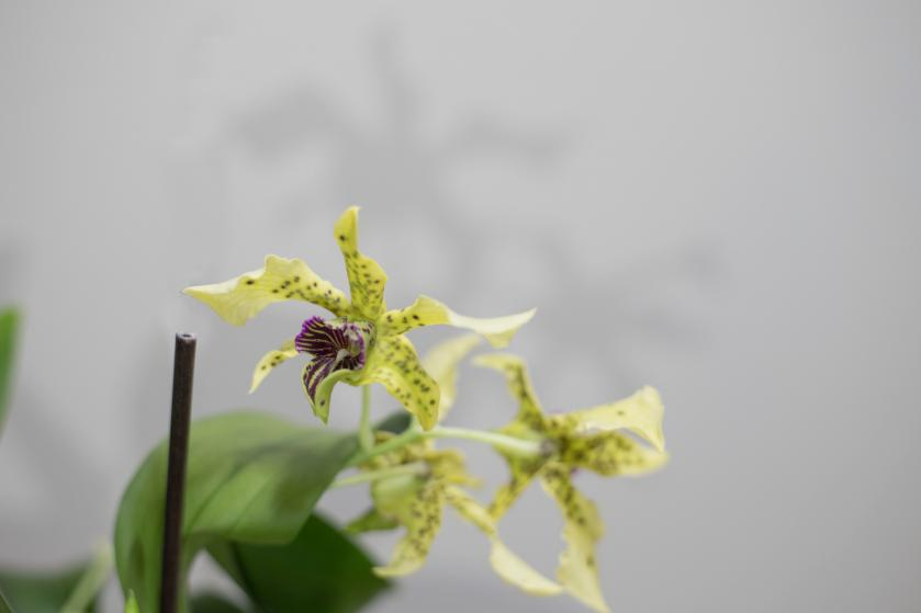 Dendrobium atroviolaceum with keiki-52319dba-aa30-4d08-ae62-4961a0baf15a-jpg