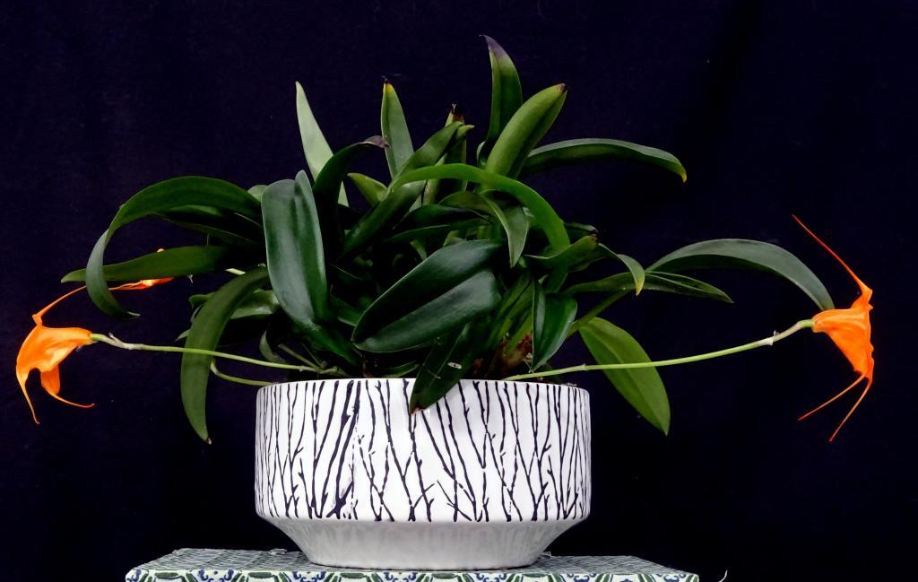 Masdevallia Southern Sun-orchids-masdevallia-southern-sun-jpg