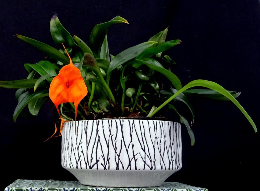 Masdevallia Southern Sun-orchids-masdevallia-southern-sun-001-jpg