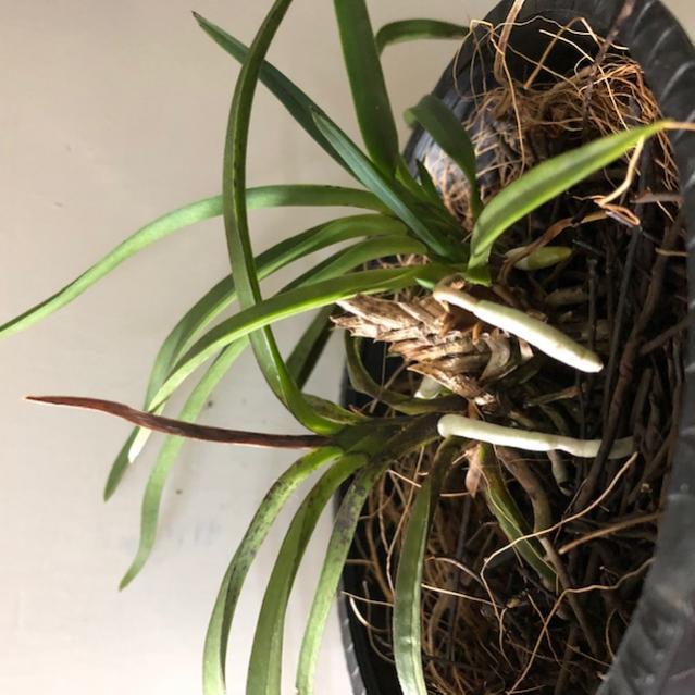 Black leaves on vanda/neofinetia-img_1086-jpg