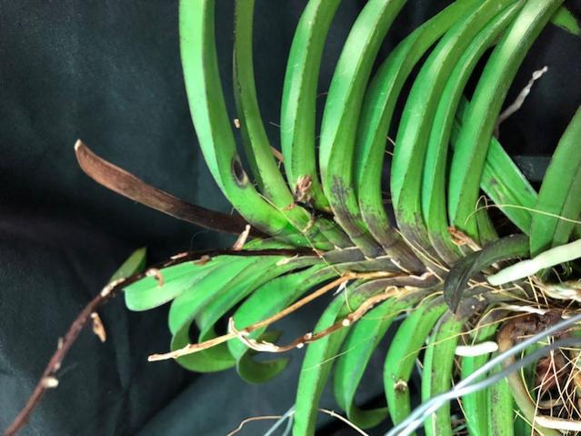 Black leaves on vanda/neofinetia-img_1094-jpg