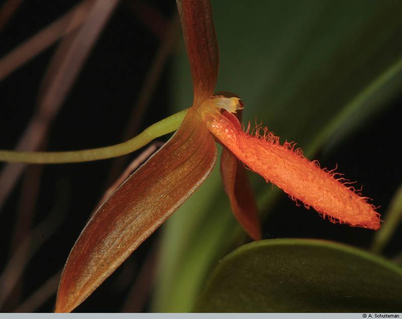 Bulbophyllum mystax and pyroglossum smell-pyrog003-jpg