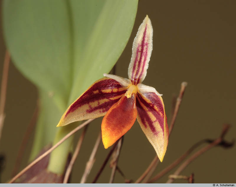Bulbophyllum mystax and pyroglossum smell-mysta003-jpg