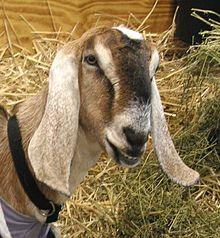 woman friendly Weed eater-220px-ras_nubian_goat-jpg