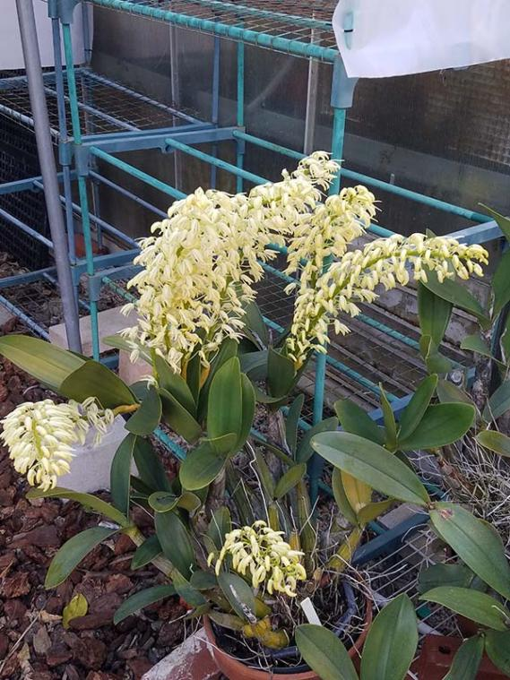 best places to pick up super cheap orchids (clearance and bargain hunting!)-den-speciosum-gracilicaule-jpg