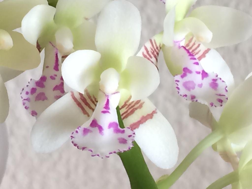 Sedirea japonica-img_1766-jpg