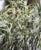 Dendrobium (Doc.) calamiforme-dendcal04192-jpg