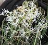 Dendrobium (Doc.) calamiforme-dencal04191-jpg