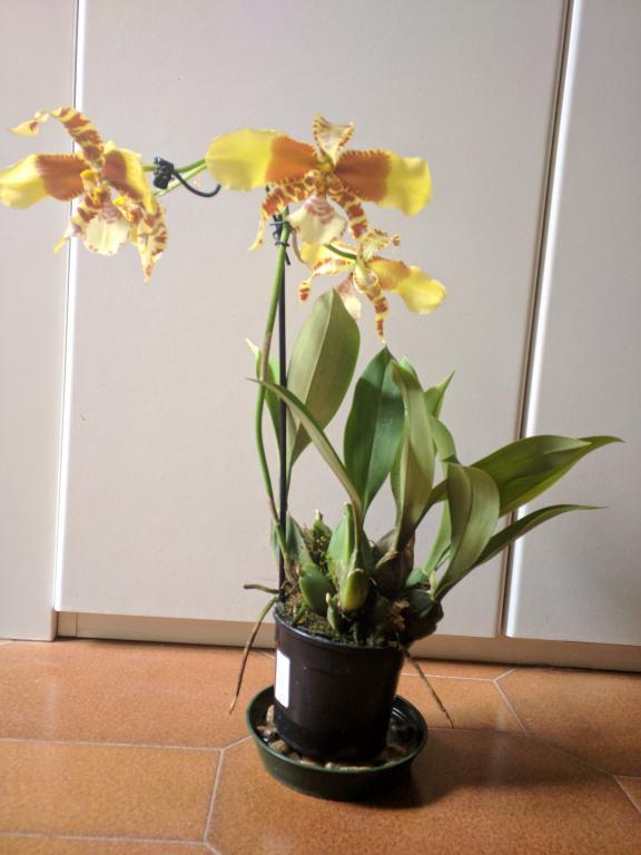Repot?  rossioglossum rawdon jester-rossopic1-jpg