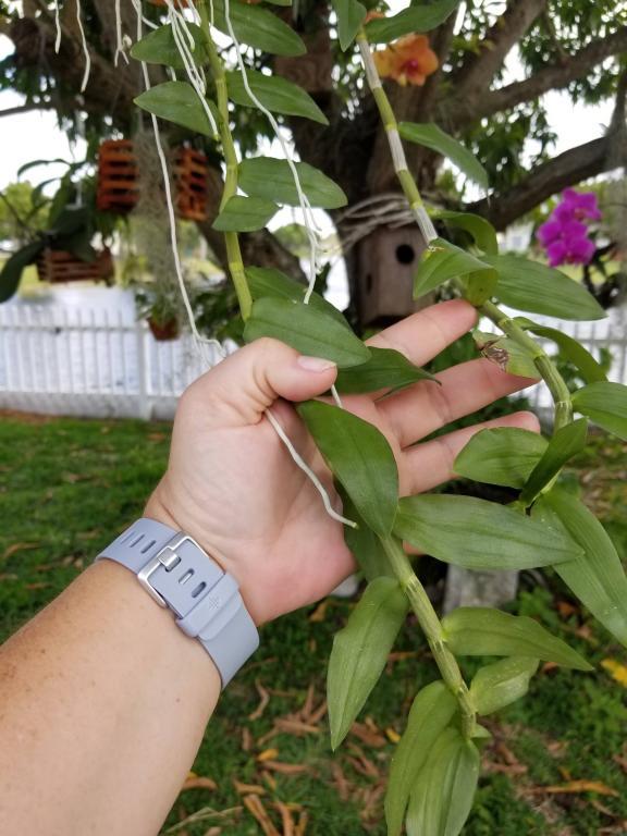 Dendrobium Anosmum-anos2-jpg