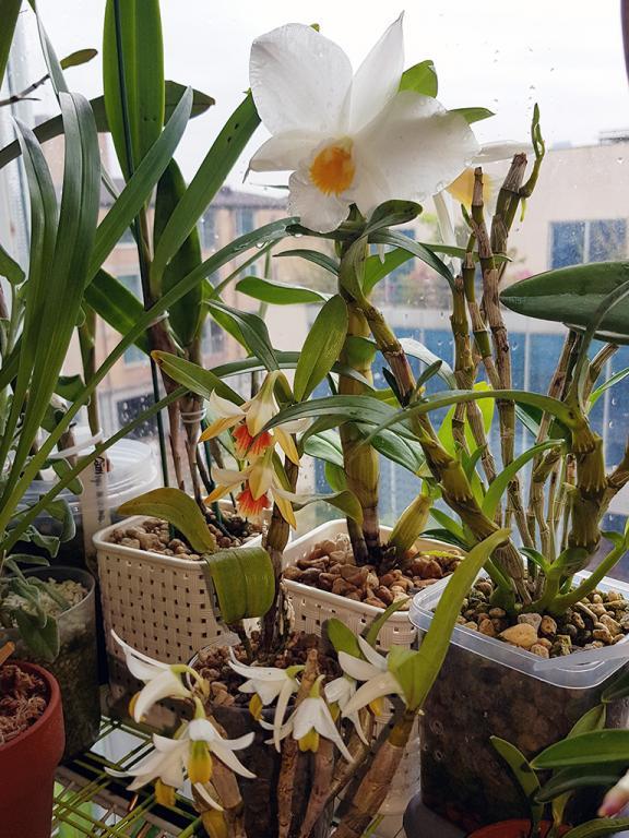 Formosae Dendrobiums-formosae-jpg