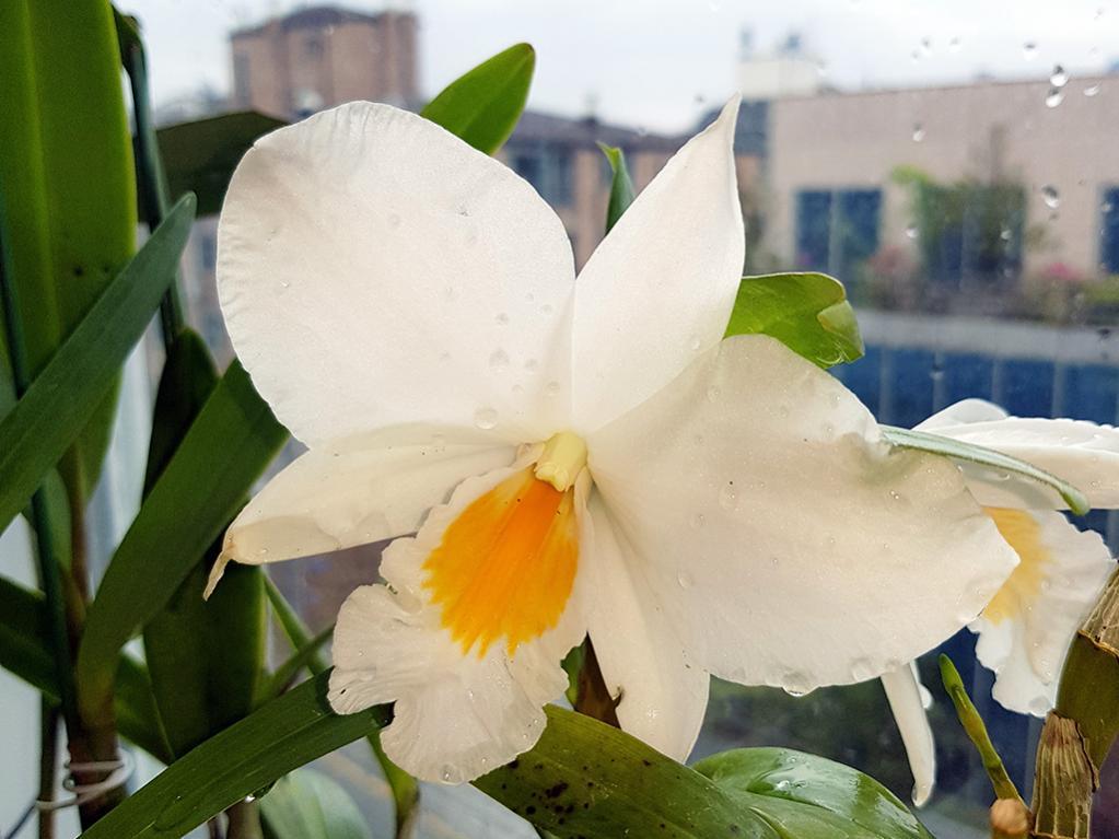Formosae Dendrobiums-formidible-floribunda-jpg